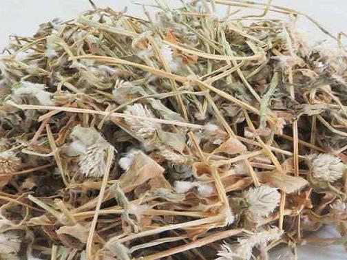 Cây nở ngày đất có hoa trắng được sử dụng như một bài thuốc dân gian chữa nhiều căn bệnh
