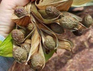 Chữa bệnh sỏi thận bằng hạt đười ươi vô cùng hiệu quả