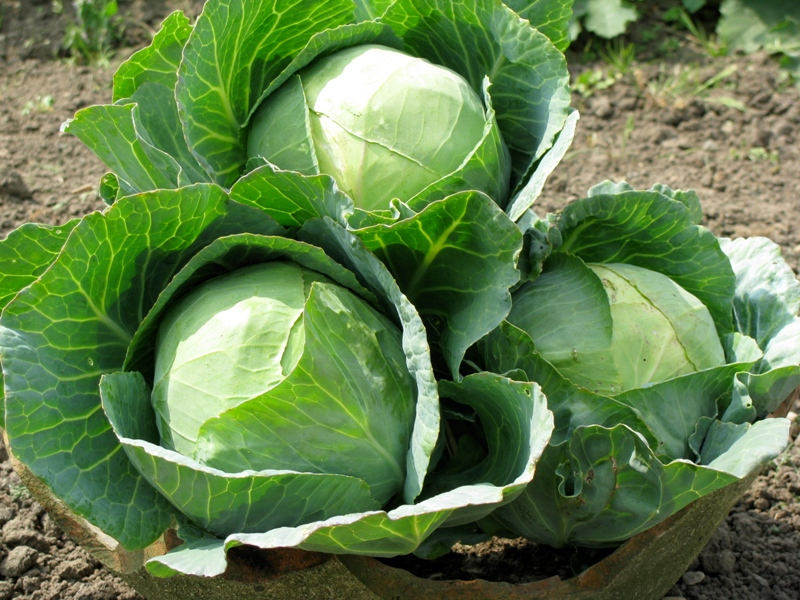 Giảm cân 24h với bắp cải